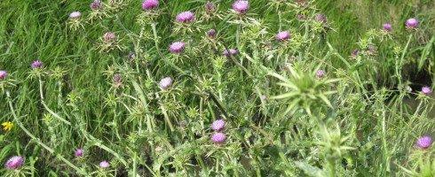 le chardon marie, une des plantes du foie