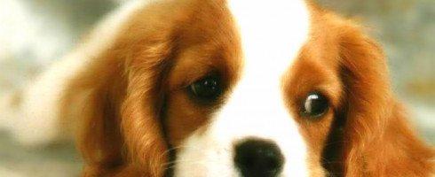 quand les chiens détectent les maladies