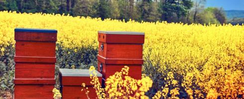 la propolis rouge…le produit de l'abeille