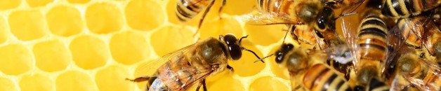 Le venin des abeilles aiderait à vaincre le cancer du sein…à suivre